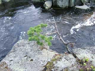 И на камнях растут деревья карелия